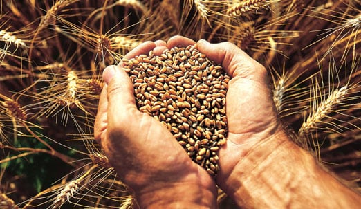 Photo of Hands Holding Grains